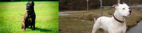 Bandog vs Antebellum Bulldog