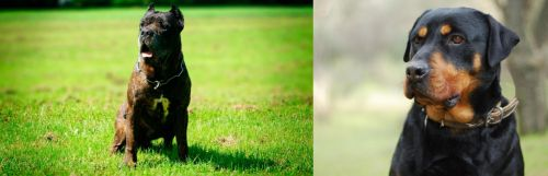 Bandog vs Rottweiler