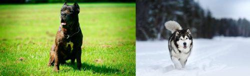 Bandog vs Siberian Husky