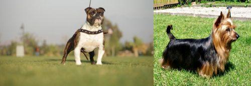 Bantam Bulldog vs Australian Silky Terrier