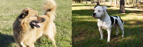 Basque Shepherd vs American Bulldog