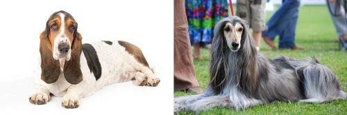 Basset Hound vs Afghan Hound