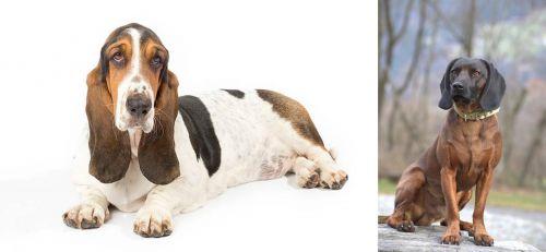 Basset Hound vs Bavarian Mountain Hound