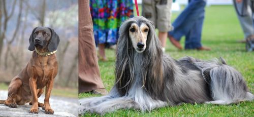 Bavarian Mountain Hound vs Afghan Hound