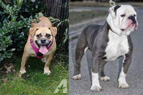 Beabull vs Old English Bulldog