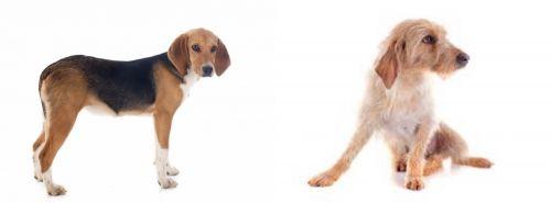 Beagle-Harrier vs Basset Fauve de Bretagne