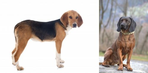Beagle-Harrier vs Bavarian Mountain Hound
