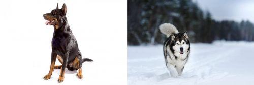 Beauceron vs Siberian Husky