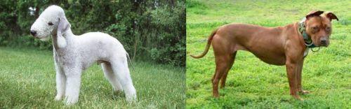 Bedlington Terrier vs American Pit Bull Terrier