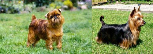 Belgian Griffon vs Australian Silky Terrier