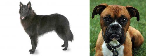 Belgian Shepherd vs Boxer