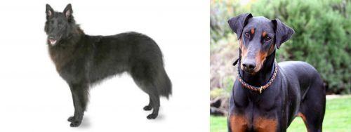 Belgian Shepherd vs Doberman Pinscher