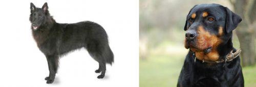Belgian Shepherd vs Rottweiler
