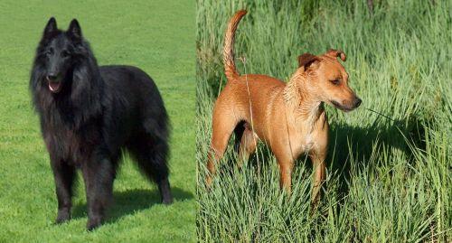 Belgian Shepherd Dog (Groenendael) vs Africanis