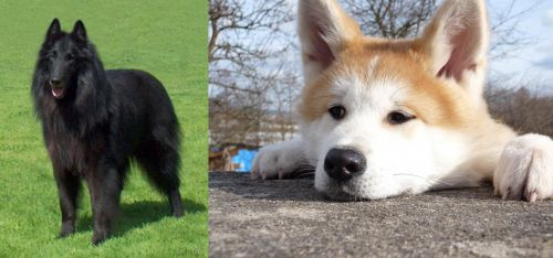 Belgian Shepherd Dog (Groenendael) vs Akita