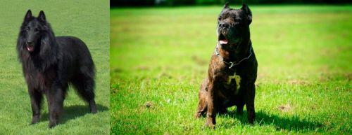 Belgian Shepherd Dog (Groenendael) vs Bandog