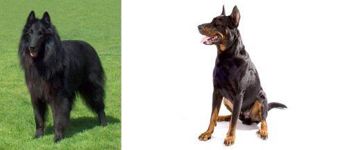 Belgian Shepherd Dog (Groenendael) vs Beauceron