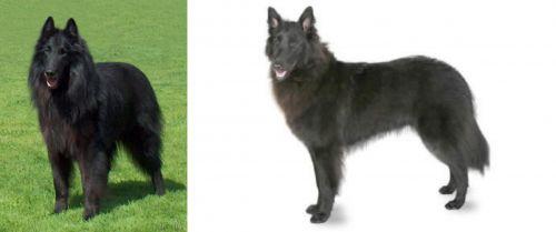 Belgian Shepherd Dog (Groenendael) vs Belgian Shepherd