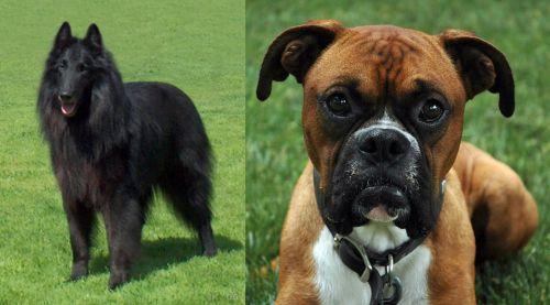 Belgian Shepherd Dog (Groenendael) vs Boxer