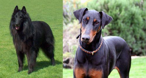Belgian Shepherd Dog (Groenendael) vs Doberman Pinscher