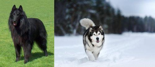 Belgian Shepherd Dog (Groenendael) vs Siberian Husky