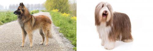 Belgian Shepherd Dog (Tervuren) vs Bearded Collie