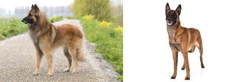 Belgian Shepherd Dog (Tervuren) vs Belgian Shepherd Dog (Malinois)