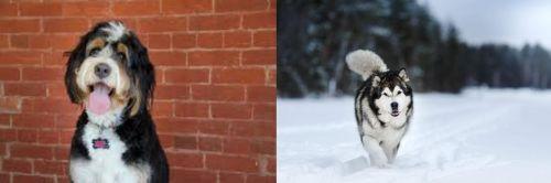 Bernedoodle vs Siberian Husky