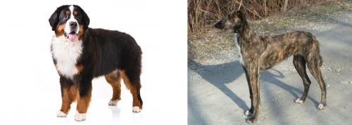 Bernese Mountain Dog vs American Staghound