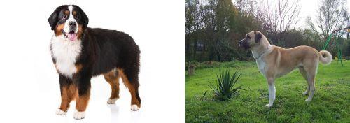 Bernese Mountain Dog vs Anatolian Shepherd