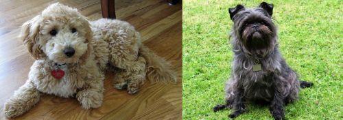 Bichonpoo vs Affenpinscher