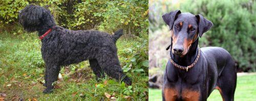 Black Russian Terrier vs Doberman Pinscher