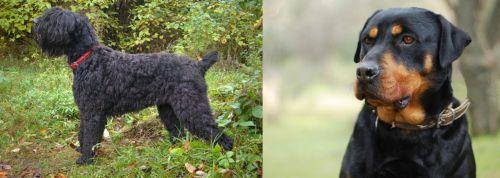 Black Russian Terrier vs Rottweiler