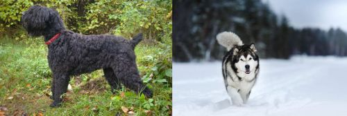 Black Russian Terrier vs Siberian Husky