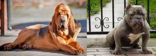 Bloodhound vs American Bully