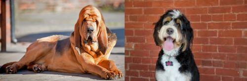 Bloodhound vs Bernedoodle