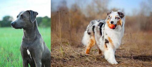 Blue Lacy vs Australian Shepherd