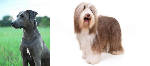 Blue Lacy vs Bearded Collie