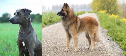 Blue Lacy vs Belgian Shepherd Dog (Tervuren)
