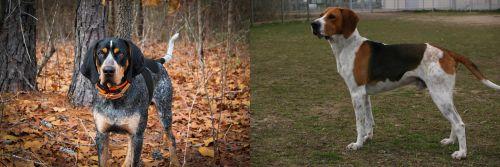 Bluetick Coonhound vs Anglo-Francais de Petite Venerie