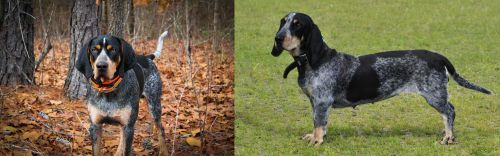 Bluetick Coonhound vs Basset Bleu de Gascogne
