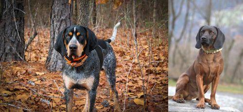Bluetick Coonhound vs Bavarian Mountain Hound