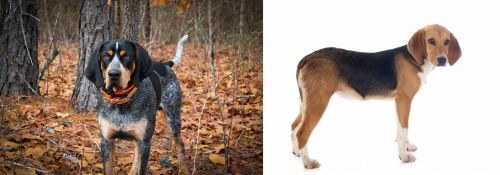 Bluetick Coonhound vs Beagle-Harrier