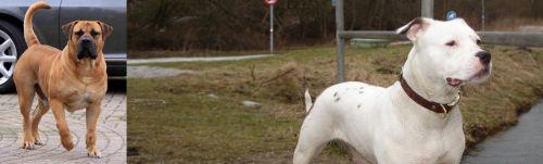 Boerboel vs Antebellum Bulldog