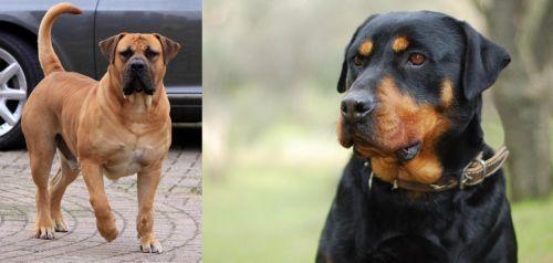Boerboel vs Rottweiler