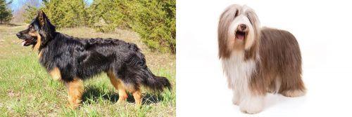 Bohemian Shepherd vs Bearded Collie