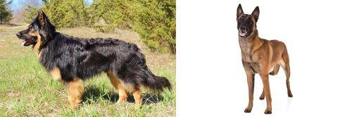 Bohemian Shepherd vs Belgian Shepherd Dog (Malinois)