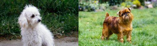 Bolognese vs Belgian Griffon
