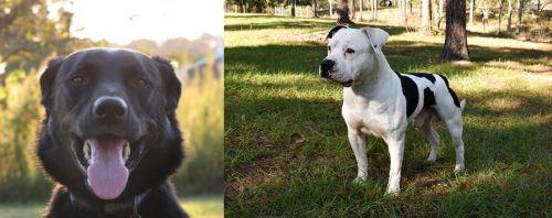 Borador vs American Bulldog