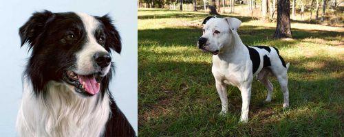 Border Collie vs American Bulldog